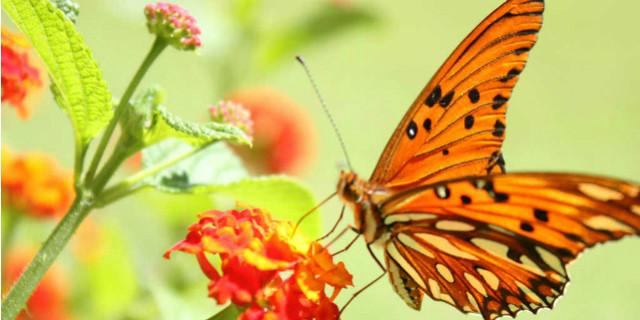 curiosità sulle farfalle